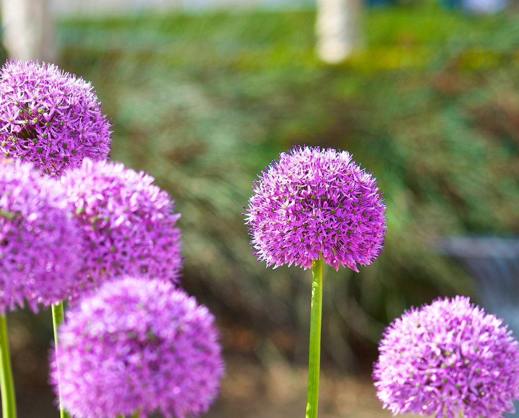 Allium 1500 B