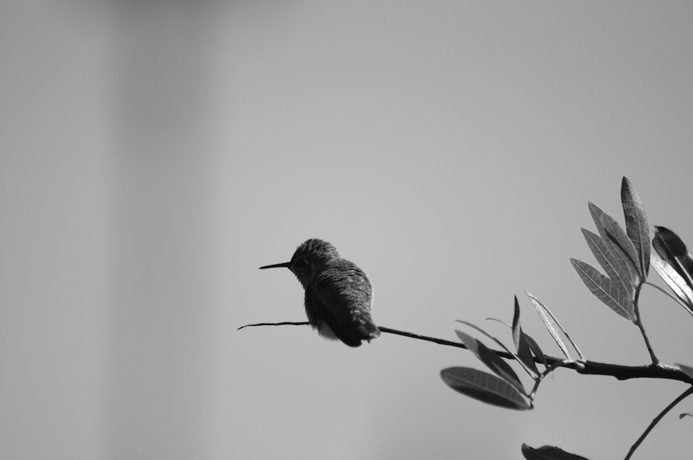 Black and white hummingbird in San Diego 1000