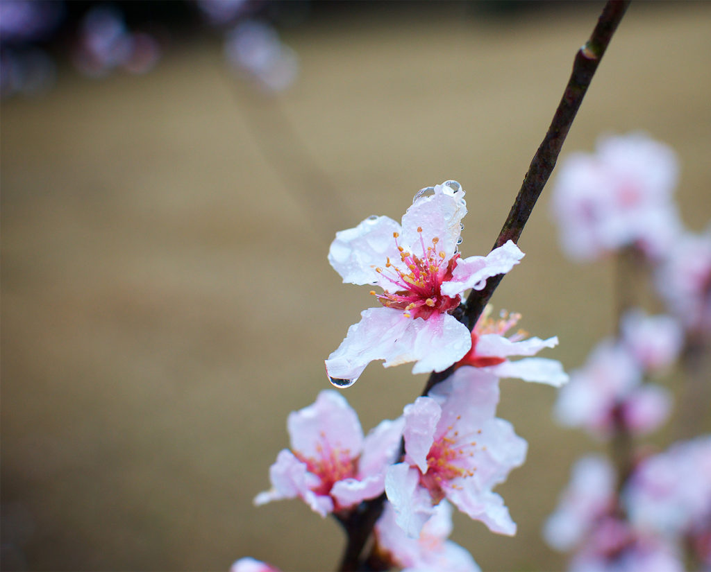 Cherry Blossoms with water 1500 B