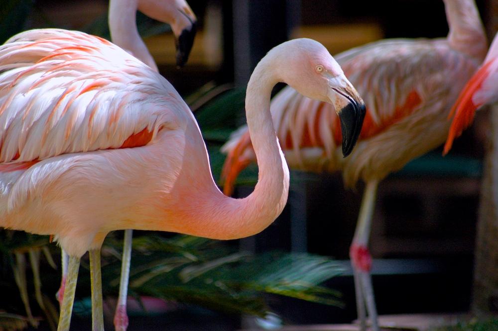Flamingos at Flamingo in Las Vegas