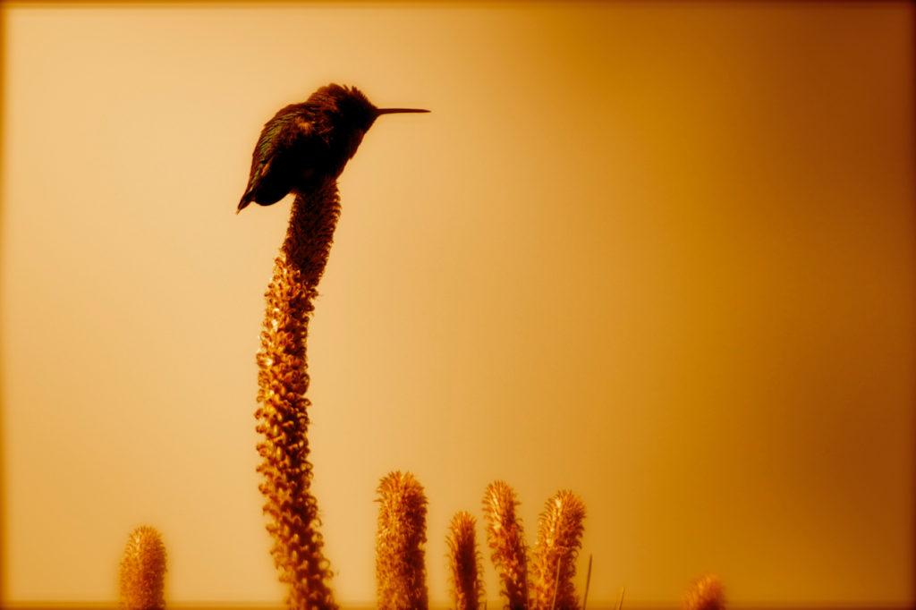 hummmingbird 7