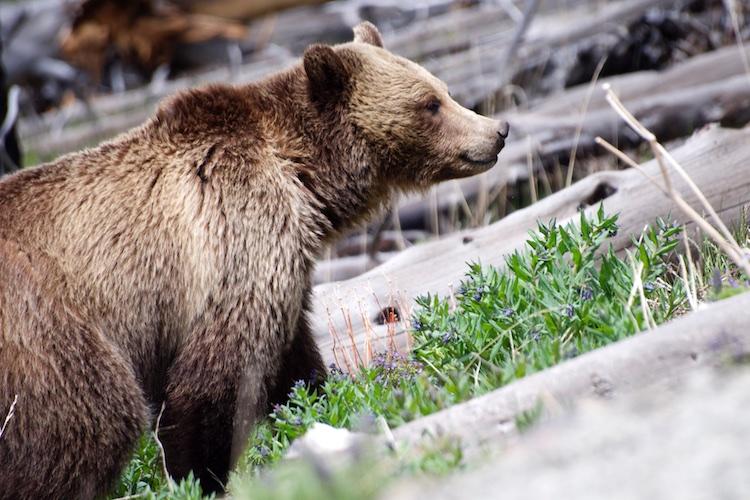 Mama Bear at Yellowstone NP 750