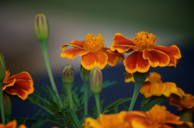 Marigolds on a Hot Afternoon