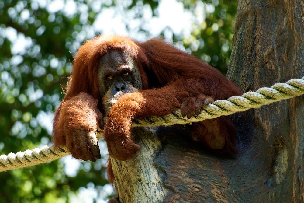 Orangutan 1000