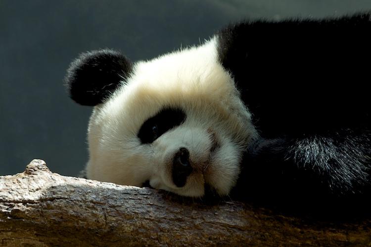 Panda Bear 750
