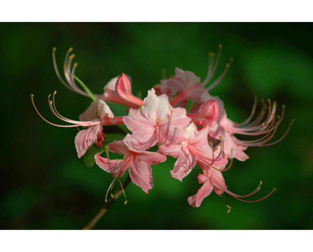 Pink tree flower in the morning 1500