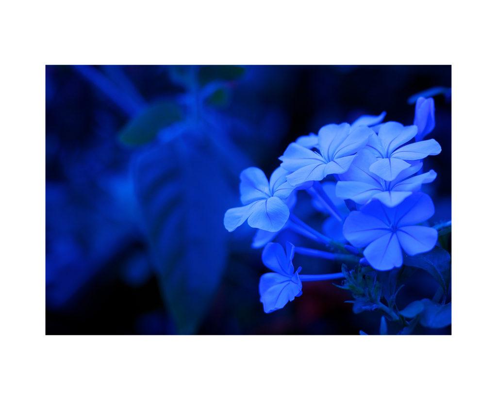 Purple Haze Flowers 1500