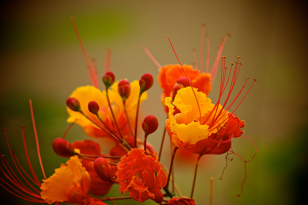 Red Orange and Yellow Flower 1000x1000