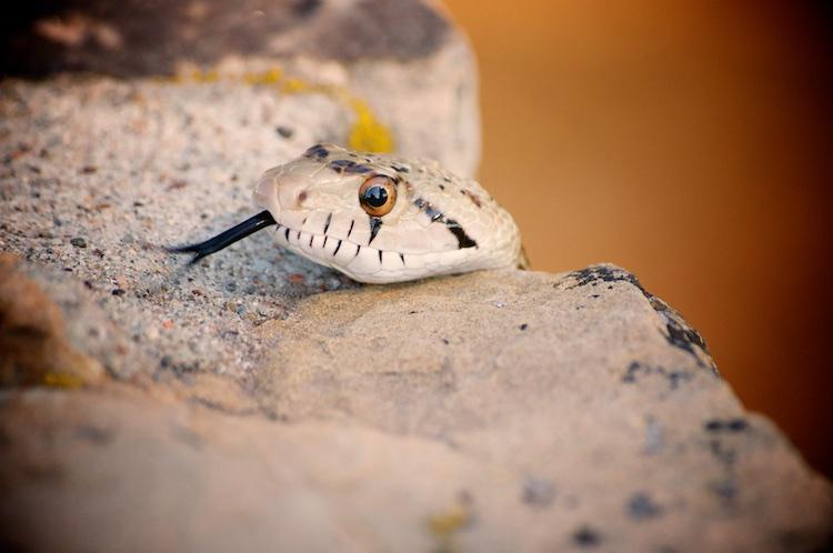 Snake at Grand Canyon 751