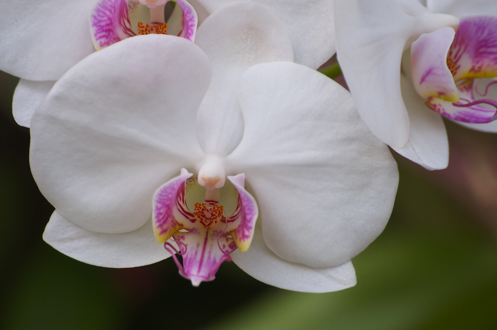 White Cymbidium Orchid with Pink Throat Flowers
