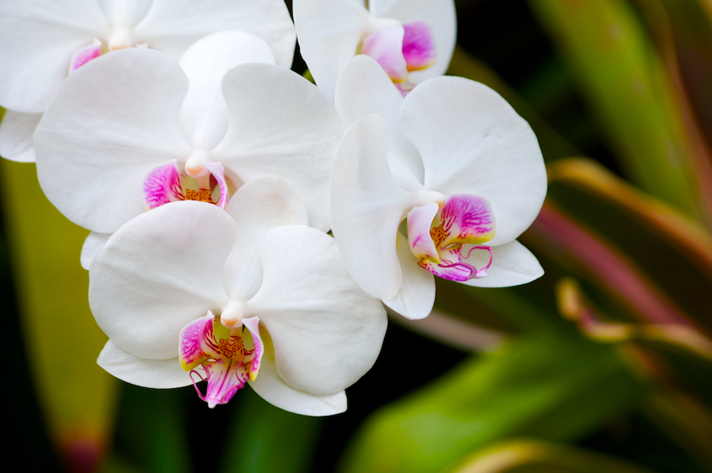White Cymbidium Orchid with Pink Throat Flowers 3