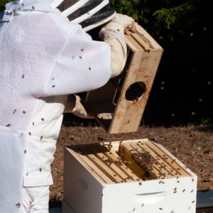 photo of a beekeeper in a bee suit, dumping honey bees from a wooden box into a langstroth hive
